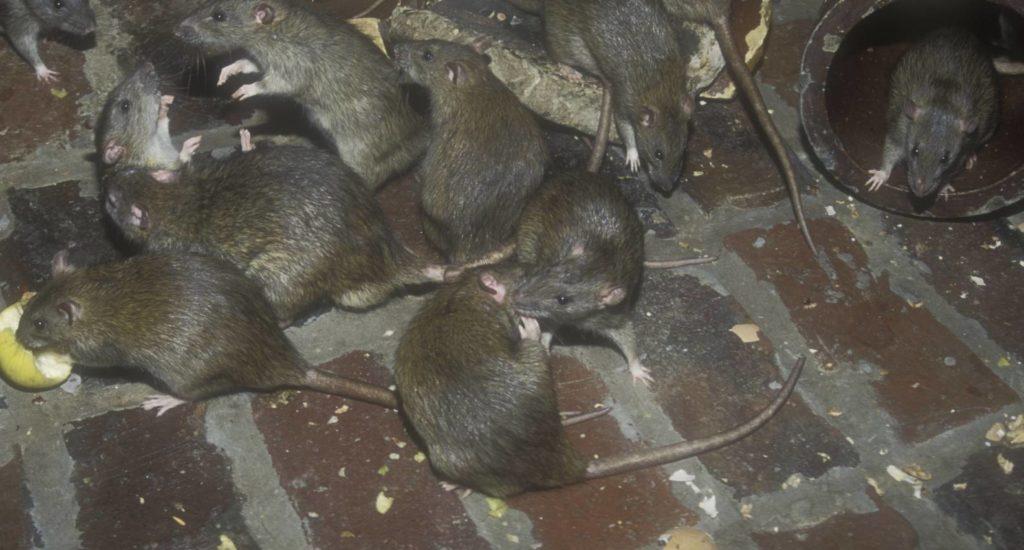 уничтожение крыс в Владивостоке